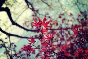 紅葉 楓 種類1